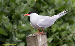 Common Tern on Inner Farne (Ted Humphreys Nature) Tags: commontern terns seabirds farneislands tedhumphreysnature