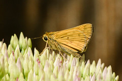 fiery skipper on sedum (BobRobin) Tags: butterfly fieryskipper insect skipper