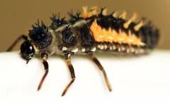 8.7 mm Asian lady beetle larva (ophis) Tags: coleoptera polyphaga cucujiformia coccinelloidea coccinellidae coccinellinae harmonia harmoniaaxyridis multicoloredasianladybeetle ladybeetle larva