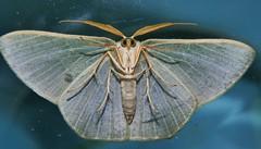 Gilded emerald moth Thalassodes dorsilinea Geometrinae Geometridae Geometroidea Mandalay rainforest Airlie Beach  P1033217 (Steve & Alison1) Tags: gilded emerald moth thalassodes dorsilinea geometrinae geometridae geometroidea mandalay rainforest airlie beach