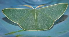 Gilded emerald moth Thalassodes dorsilinea Geometrinae Geometridae Geometroidea Mandalay rainforest Airlie Beach P1033220 (Steve & Alison1) Tags: gilded emerald moth thalassodes dorsilinea geometrinae geometridae geometroidea mandalay rainforest airlie beach