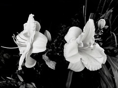 the perfect couple (77ahavah77) Tags: flower white maine nature outside blossom