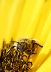 _A999123 (mbisgrove) Tags: bee flower bisgrove macro yellow sunflower sony a99m2 insect a99ii sigma 150mmexdgapohsm
