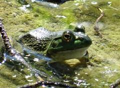 Saturday's frog (EcoSnake) Tags: americanbullfrog lithobatescatesbeiana frogs amphibians wary august summer watching idahofishandgame naturecenter