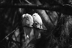Little Corellas (Luke6876) Tags: littlecorella corella corellas cockatoo parrot bird animal wildlife australianwildlife nature bw monochrome