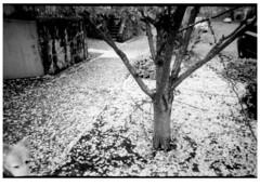 Cherry Blossom (Robert Drozda) Tags: street bw tree oregon portland cherry petal litter sidewalk cherryblossom curb parkingstrip treelawn film monochrome ilfordhp5 olympusxa2 drozda dog sandy littledoglaughednoiret