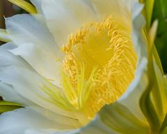 Fleeting Beauty (risaclics) Tags: dragonfruit flora flowering flowers 60mmmacro august2019 nikond610d bloom flower petals stamen tropical white yellow floweringdragonfruit