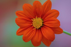 Red Hot (Anton Shomali - Thank you for over 3 million views) Tags: wet flickr photography nature mexican sunflower t tithonia rotundifolia warm flower flowers rain storm thunder summer season green red yellow central america drop drops monarchs seeds garden yard back sun clouds water sony slta77v mexico camera lens beautiful beauty nice art landscape sky photo picture frame reflections view nikon coolpix p900 morning hot redhot backyard backyardflowers brightred