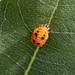 Coccinellidae Pupa on Common Milkweed