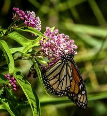 Give It a Hug (Portraying Life, LLC) Tags: da3004 hd14tc k1mkii michigan pentax ricoh topazaiclear unitedstates butterfly closecrop handheld nativelighting meadow milkweed wild count