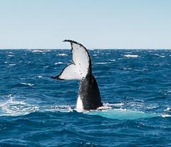 Baleine_5891 (Roucoun) Tags: whale d500 nikon humpback sunset waving greeting ecology one planet