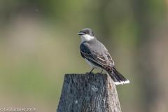 Eastern Kingbird (gvall66) Tags: audubon birding d500 easternkingbird hawkrise kingbird lindennj nj njaudubon nikkor nikon nikon200500 ebird