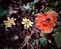 klaproos (delnaet) Tags: poppy klaproos coquelicot amapolas roja rood red rouge flor flora bloem fleur blume flower fantasticnature photomanipulation