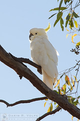 """""""Who's That Cockatoo?"""" [Sulfur Crested Cockatoo in New South Wales, Australia] (The Way I See Things - dvtwist.com) Tags: whosthatcockatoo animals cockatoo bird feather feathers feathered flight ornithology plumage wings animal sulfurcrestedcockatoo parrot australianwildlife tree wood plant vegetation flora botanical botany leaf leaves perch perched stand standing beauty natural nature outdoor fauna outdoors wild wildanimal wildanimals wildlife newsouthwales australia australian downunder commonwealthofaustralia oz 8x12"""