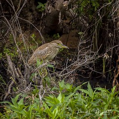 prairielakes_fb_122917-14 (ccgrin) Tags: 2017 wma avian bird blackcrownednightheron fishingbird florida heron heronfamily kenansville nightbird nightheron park prairielakes shorebird wadingbird waterbird
