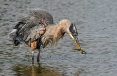 Oh No,,,, Not My Turn !! (wesleybarr1962) Tags: heron greatblueheron ardeaherodias