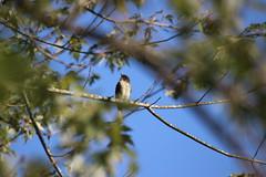 img_100-6884 (Mark Eichin) Tags: greatmeadowsnationalwildliferefuge massachusetts concord kingbird