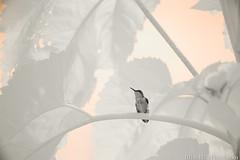 720nm infrared (Brian M Hale) Tags: bird ir infrared 720nm kolari vision kolarivision outside outdoors nature wildlife tower hill botanic garden boylston ma mass massachusetts newengland usa brian hale brianhalephoto