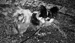 Bonnie (delnaet) Tags: bonnie hond dog chien pers vlinderhond papillon perromariposa hank you