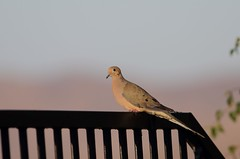 EOS-1D X1478 Sunset in California. Mourning Dove in my backyard. Corona, California USA (E.W. Smit Wildlife.) Tags: wildanimals tourist tourists telephotolens unitedstatesofamerica usa outdoors outdoor bird birds animal avian animals wildanimal canon nature wildlife canoneos1dx 1dx canon1dx canonef300mmf4lis canonef14xextenderiii canonef14xiii eos1dx park parks canonef300mmf4lisusm14xiii canonef300mmf4lis14xiii ef300mmf4lis14xiii ef300mmf4lisusm14xiii 14xiii coronacalifornia coronariversidecalifornia corona trilogy dove mourningdove canonef300mmf4lisusm ef300mmf4lisusm ef300mmf4lis