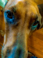 Penny For Your Thoughts (MaryMarthaK) Tags: dog pet cute girl friend penny redbone blackandtan unlimitedphotos