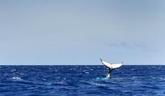Baleine_5851 (Roucoun) Tags: whale d500 nikon humpback sunset waving greeting ecology one planet