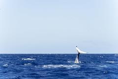 Baleine_5841 (Roucoun) Tags: whale d500 nikon humpback sunset waving greeting ecology one planet