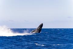 Baleine_5810 (Roucoun) Tags: whale d500 nikon humpback sunset waving greeting ecology one planet