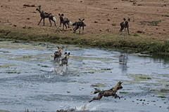 African Wild Dog - Lycaon (happybirds.ch) Tags: happybirdsch happybirds kruger africa afriquedusud afrique southafrica nature wildlife wild sauvage mammal mammifère dog wilddog africanwilddog african lycaonpictus chien chiensauvage lycaon famille family river rivière letaba