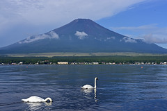 Mt.Fuji and swan from the banks of Lake Yamanakako (ULTRA Tama) Tags: mtfuji swan from banks lake yamanakako mtfujiwhc japan shizuoka fuji todays dayliphoto instadaily photogenic igjapan loversnippon worldcaptures flickrfriday 2019 worldheritage tabijyo genicmag retripjapan retripshizuoka explorejapan traveljapan radiof artofimages ftimes genictravel geniclife genicblue genicjapan genicphoto genictown genicsummer tabijyosummer tabijyomaptwn tabijyotravel flickrheroes brilliant flickr celebrities natural decay photo photographer pure photography macro canonflickraward flickrelite flickrunitedaward estrellas world heritage art purephotographystudio studio shutterstock adobe stock lovely beautiful pretty cute beauty naturalbeauty naturesbeauty