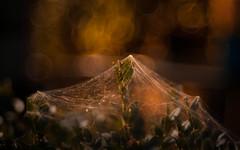 Arena of Death (ursulamller900) Tags: bokeh spiderweb mygarden spinnennetz diaplan28100 golden buxus buchsbaum linyphiatriangularis baldachinspinne