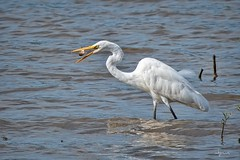 Catch of the day 🐟 (Melinda G Pix) Tags: outdoor nature bird fishing fish egret
