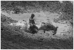 Gent Koning Albert (marc.demeuleneire) Tags: selecteren bw street statue king park water reflection nikon horse
