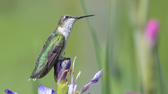 Reminiscing (Paul McGoveran) Tags: bif bird nature nikon500mmf4 nikond500 norfolkcounty rubythroatedhummingbird wings coth coth5