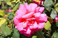Vacances_0986 (Joanbrebo) Tags: mainau konstanz badenwürttemberg de deutschland canoneos80d eosd autofocus flors flores flowers fiori fleur rose rosa blumen blossom