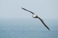 Black-browed albatross - Schwarzbrauenalbatros (svenportig) Tags: blackbrowedalbatross schwarzbrauenalbatros thalassarchemelanophris