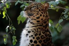 Stand up !   😁 (carlo612001) Tags: latorbiera proudly leopard amurleopard leopardodellamur leopardo cat cats bigfive bigcat wildbeauty