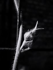 Light and shadow. Monochrome. Macro (ALEKSANDR RYBAK) Tags: свет тень монохромный чёрное белое макро крупный план бутон лиана солнечный лето сезон настроение растение shine shadow monochrome black white macro closeup bud liana solar summer season mood plant