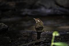 20190615-1DX25374 (siddharthx) Tags: 1dxmkii 2019 aseanheritagepark atiwichball badlight bankrangcamp beautifulbirds bird birdwatching birding birdinginthewild birds birdsinthewild canon canon1dxmkii canon7dmkii closerange columbia ef100400mmf4556lisiiusm ef1635f4lis hidephotography hides huaimaepriang june2019 kaengkrachan kaengkrachandistrict kaengkrachannationalpark kesslercrane lowlight mountains myanmarthailandborder nationalpark padungcamp phetchaburi phetchabuririver pranbuririver promediagearkatanajr promediageartr424lpmgprostix sachtler sunrise sunset tamron150600mmf563divcusdg2 thailand tropicalrainforest wild wildbirds wildlife wimberleylensplates animalfanatics naturephotography quechua wildlifecaptures wildlifeinspired wildlifeperfection wildlifecentral wildlifephotography wildlifeseekers puffthroatedbabbler babbler