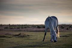 New Forest 220819 (martin_ingram) Tags: horse pony forest hampshire uk nature dusk england summer newforest animal animals feeding peace tranquility goldenhour ponies horses
