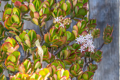Jade Plant in Bloom (Merrillie) Tags: flowers white plant flower nature garden outdoors leaf succulent jade tiny woodenfence ants starry crassula ovata pink money macro tree gardens closeup petals flora friendship houseplant jadeplant bloom moneyplant moneytree crassulaovata friendshiptree