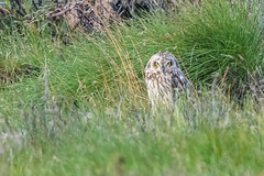 Short-eared Owl (Tim Melling) Tags: asio flammeus shorteared owl peak district moors south yorkshire timmelling