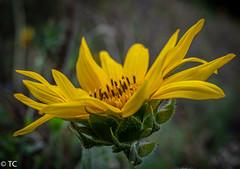 Een zonnige zondag gewenst/Wish you a sunny Sunday (truus1949) Tags: zomer bloemen zonnebloem geel