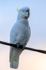 Sulphur-crested Cockatoo in the twilight (Merrillie) Tags: nsw woywoy sulphurcrestedcockatoo wildlife tree nature cockatoo bird birds australia animals fauna parrot newsouthwales animal