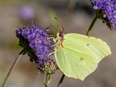 (Therese Østberg) Tags: butterfly butterflies sommerfugl blomst flower macro makro norway norge nature natur hedmark olympus olympusomdm1mrk2 olympus60mm28