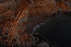 Beauty is in small things (diegocarreraperez) Tags: beauty beach beautiful belleza playa straw trigo gold golden oro dorado cala algarve faro portugal portuguese south sur mar sea ocean océano rift acantilado sunset atardecer luz light reflex reflejo cliff water agua sand arena