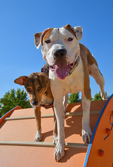 Dogs brothers,, American stanford and podenco. (Peideluo) Tags: dog podenco american stanford mascota pet happy perro portrait animals parque canino