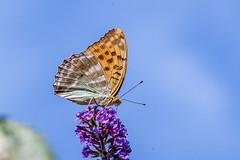 Papillon (clamar18) Tags: buddleia fleurs jardin marron orange papillon tabacdespagne mérysurcher butterffly france insecte