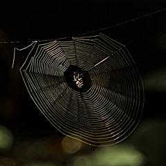 967.365-237    Web Light (ianbartlett) Tags: outdoor 365 nature wildlife flowers heather spiders webs light