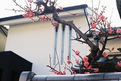 (Kkeina) Tags: film analog analogue manual olympus om om1 35mm 50mm japan nara city spring
